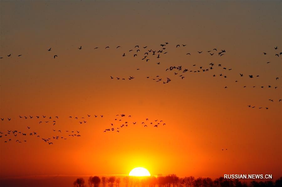 """Огромные стаи пернатых прилетели в заповедник """"Момогэ"""" на северо-востоке Китая"""