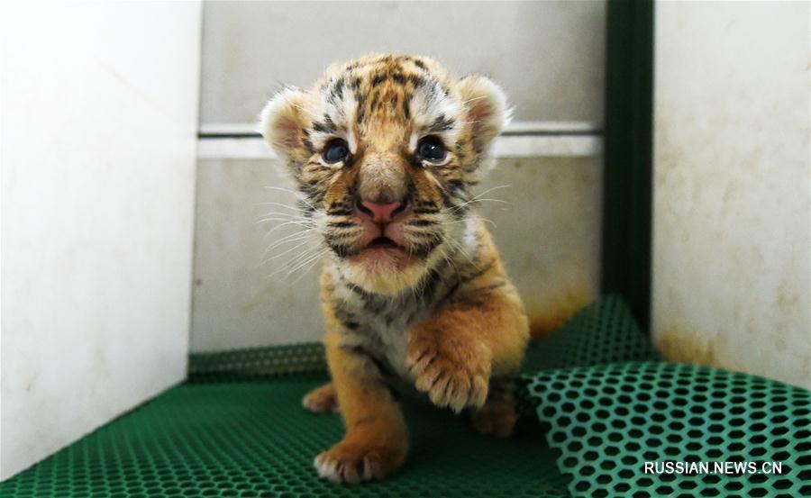 В крупнейшем в мире питомнике уссурийских тигров большое пополнение