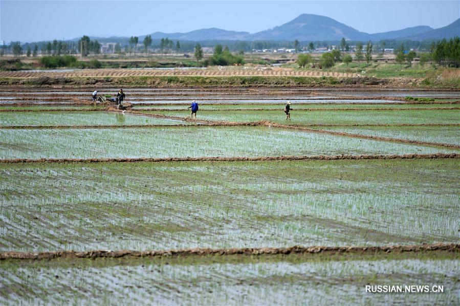 В провинции Хэйлунцзян начался сезон высадки риса