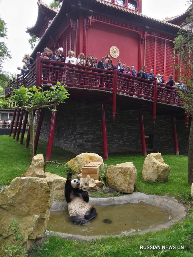Большие панды Синъя и Увэнь впервые предстали перед нидерландской публикой