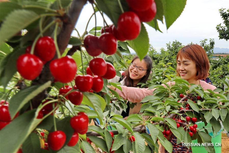 Сбор урожая вишни в провинции Хэбэй