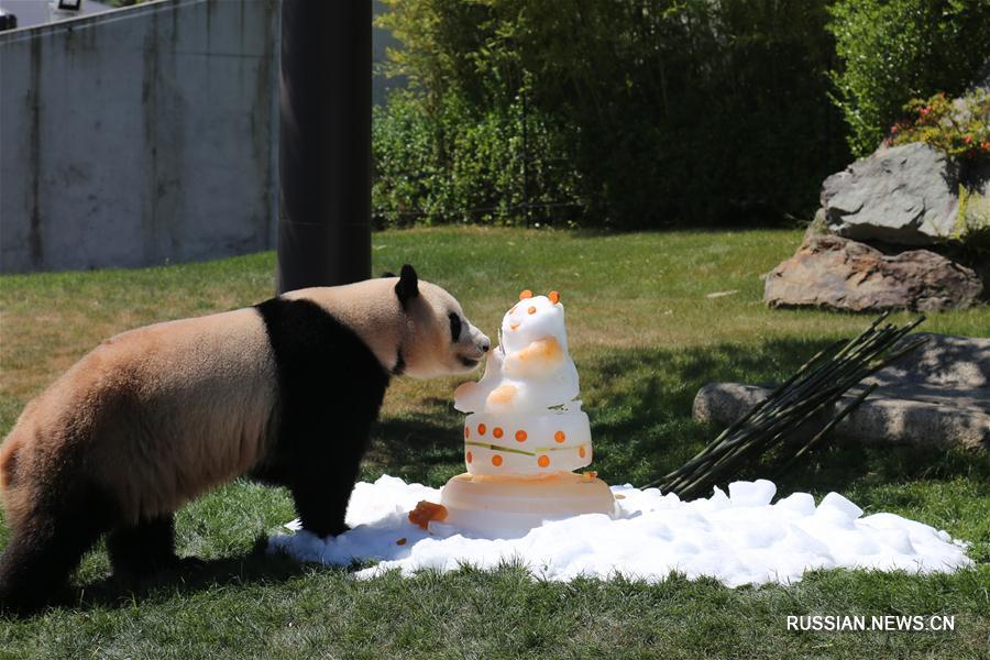 Три большие панды возвращаются из Японии в Китай