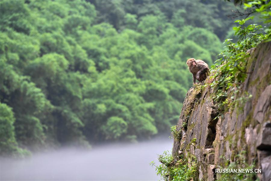 Макаки в ландшафтном парке Тунцзин Чунцина