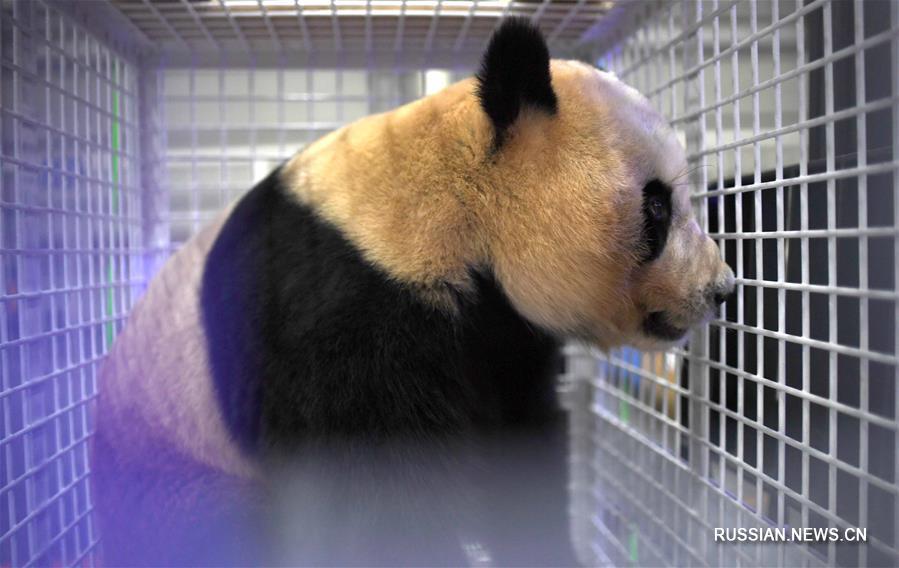 (社会)(1)三只旅日大熊猫顺利返回家乡成都