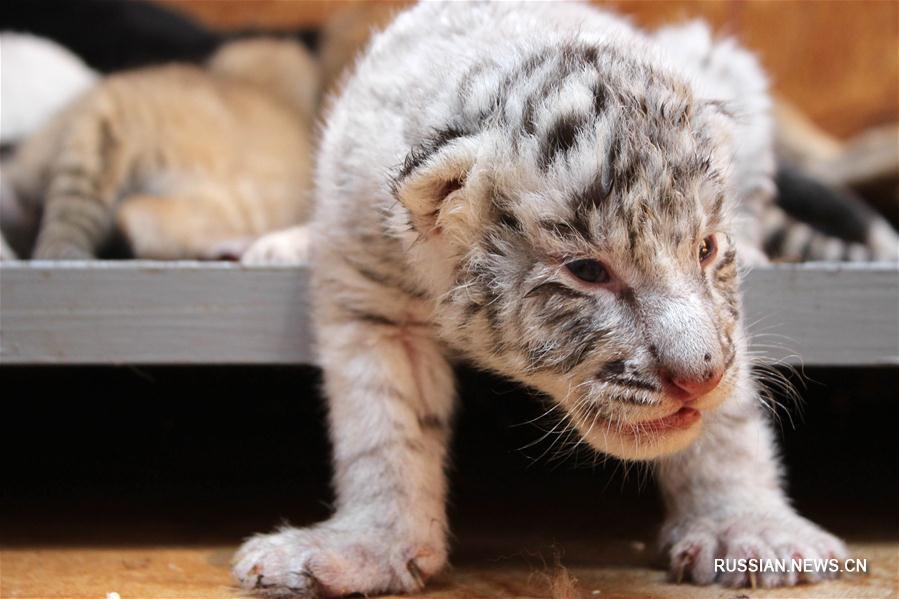 В парке диких животных в Жунчэне родились тигрята
