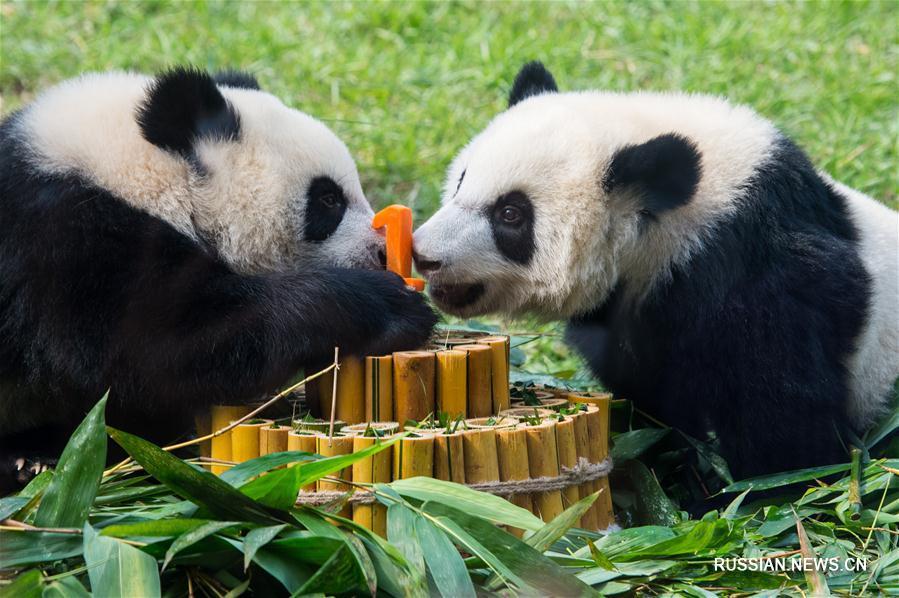В Аомэне празднуют год со дня рождения бамбуковых медведей-близнецов Цзяньцзяня и Канкана