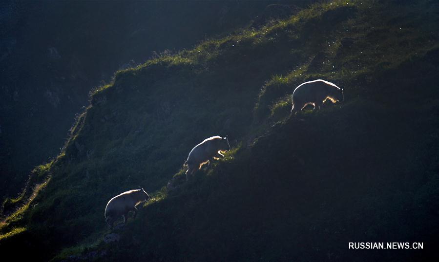 Жизнь золотистых такинов на горе Яоцзылян