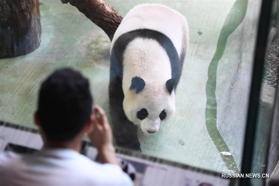 Панде по кличке Юаньцзай в Тайбэе исполнилось четыре года