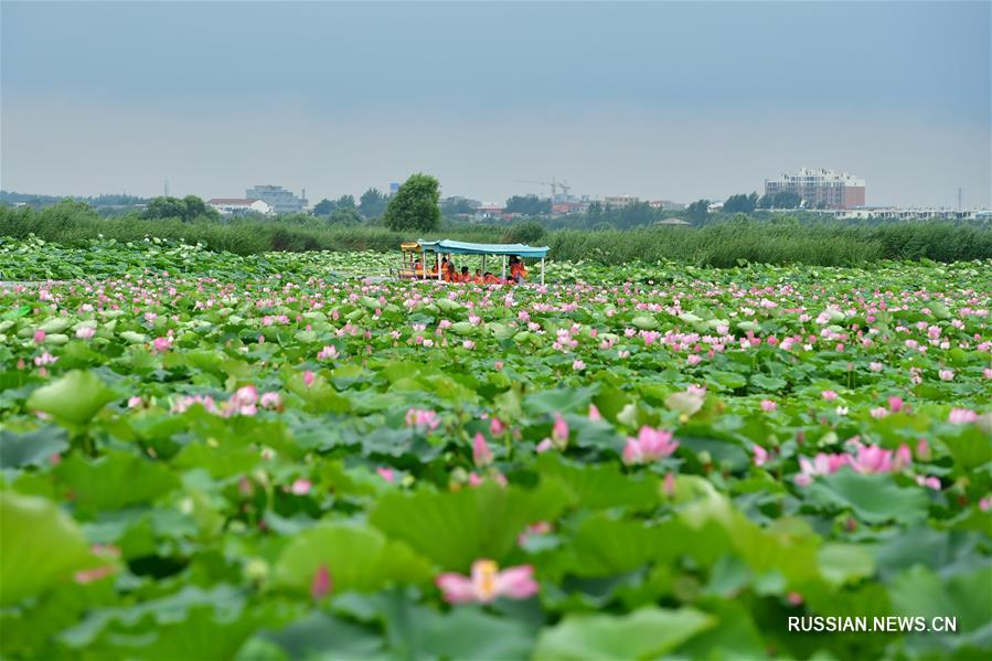 Цветение лотосов на озере Лунху