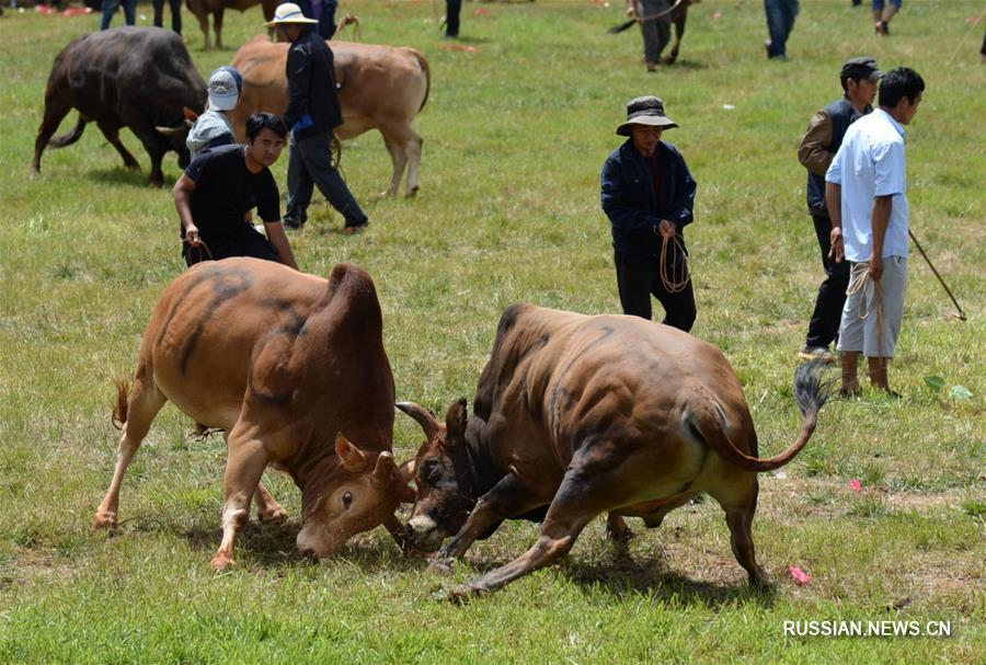 Бой быков на ийском празднике Хобацзе в провинции Юньнань
