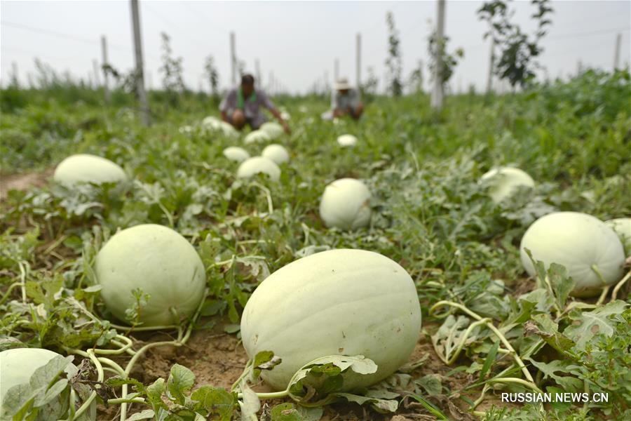 Выращивание белых дынь принесло достаток жителям на севере Китая