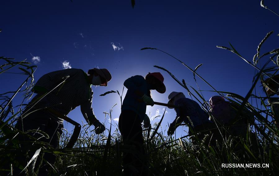 Сбор семян степных трав в провинции Цинхай