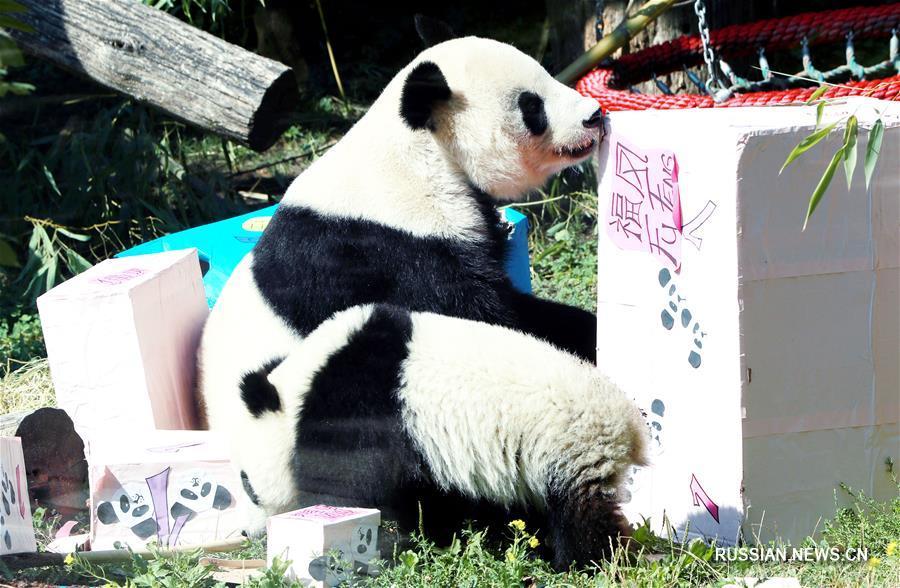 Панды-близнецы из венского зоопарка отметили первый день рождения