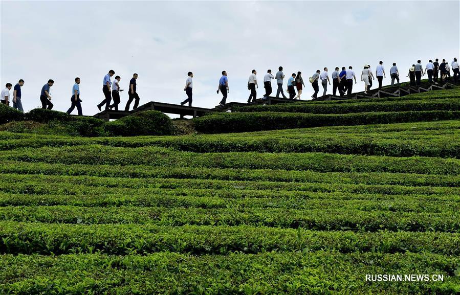 Конец лета на чайной плантации в Эньши