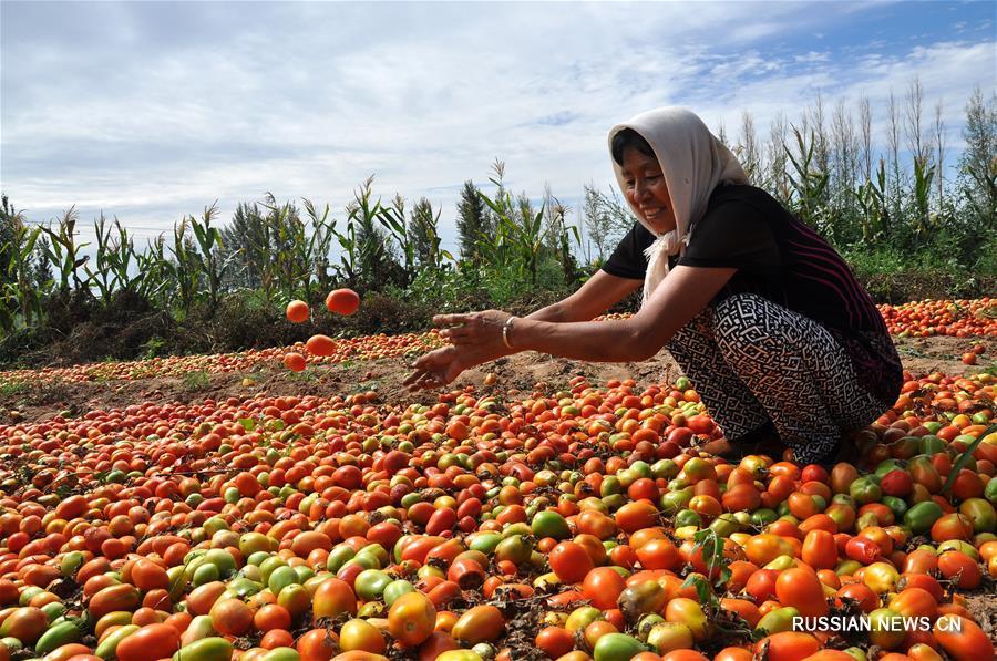 Выращивание необычных овощных культур помогает фермерам из Внутренней Монголии справиться с бедностью