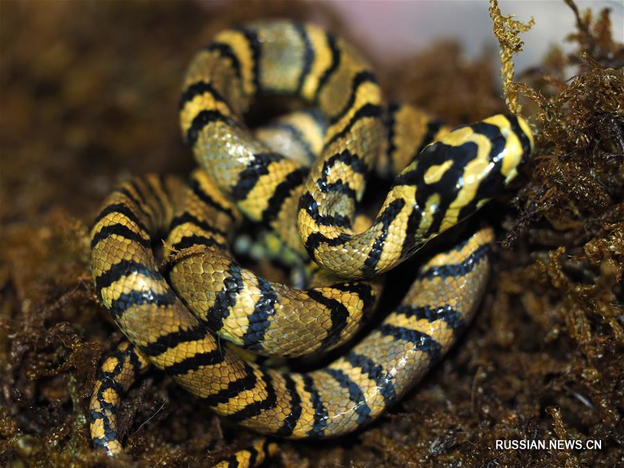 Китайские ученые получили потомство от редких рептилий