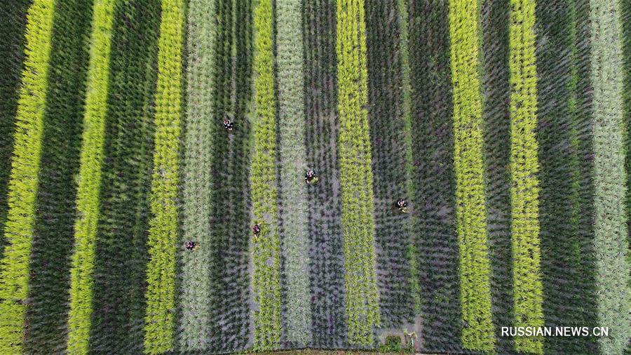 Пестрая ткань рисовых полей в провинции Гуйчжоу