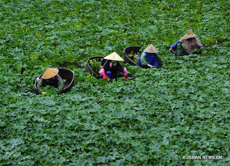 Ранняя осень -- пора водяных орехов в провинции Цзянсу