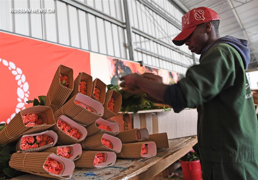 Кенийские розы завоевывают китайский рынок