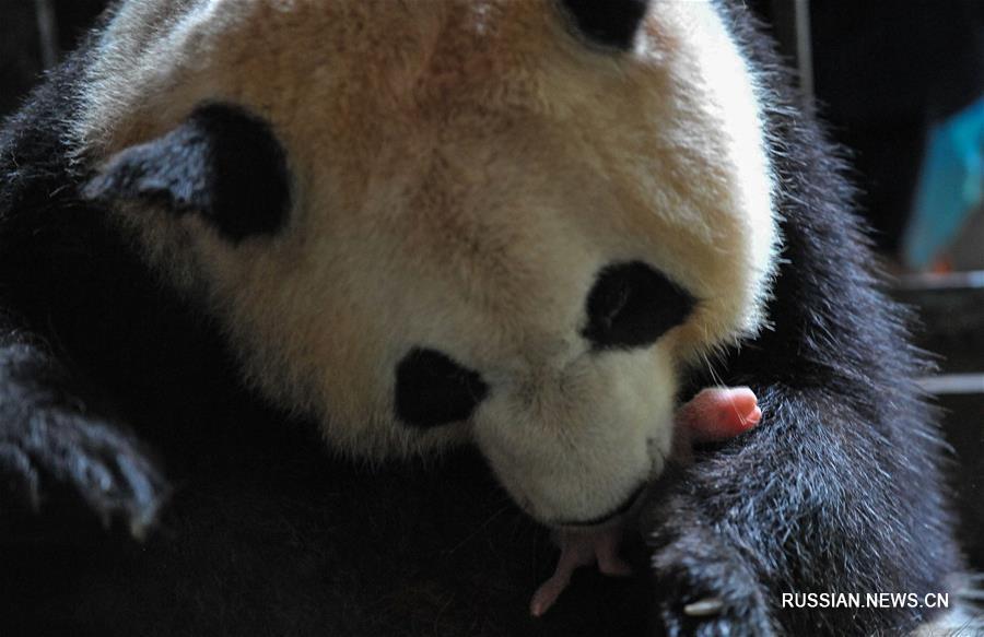 В Китае создается национальный парк больших панд площадью свыше 27 тыс кв км