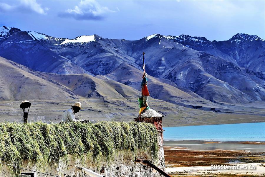 В Тибетском АР началась заготовка зеленых кормов