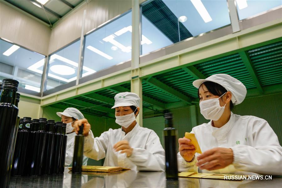 Оливки -- новый путь к благосостоянию для фермеров из Ганьсу