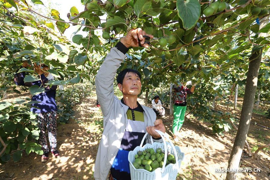 Сбор урожая актинидии в провинции Ляонин