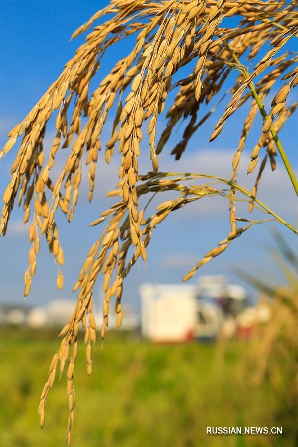 Уборочная страда на рисовых полях в Хуайане