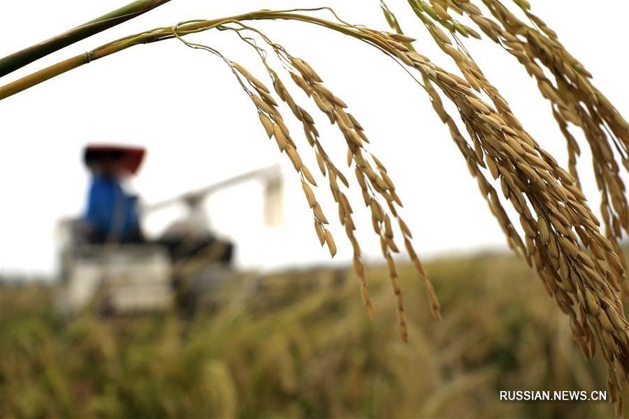В 2017 году Китай планирует снова собрать богатый урожай зерна