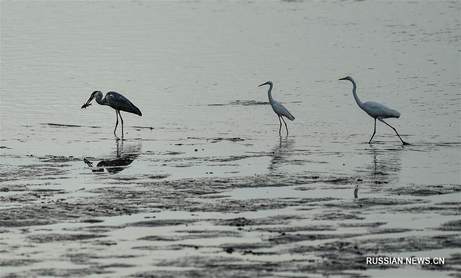 Перелетные птицы на побережье Шэньчжэньского залива