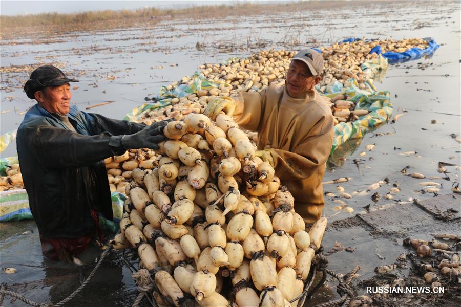 Сбор корневищ лотоса в уезде Гуаньюнь