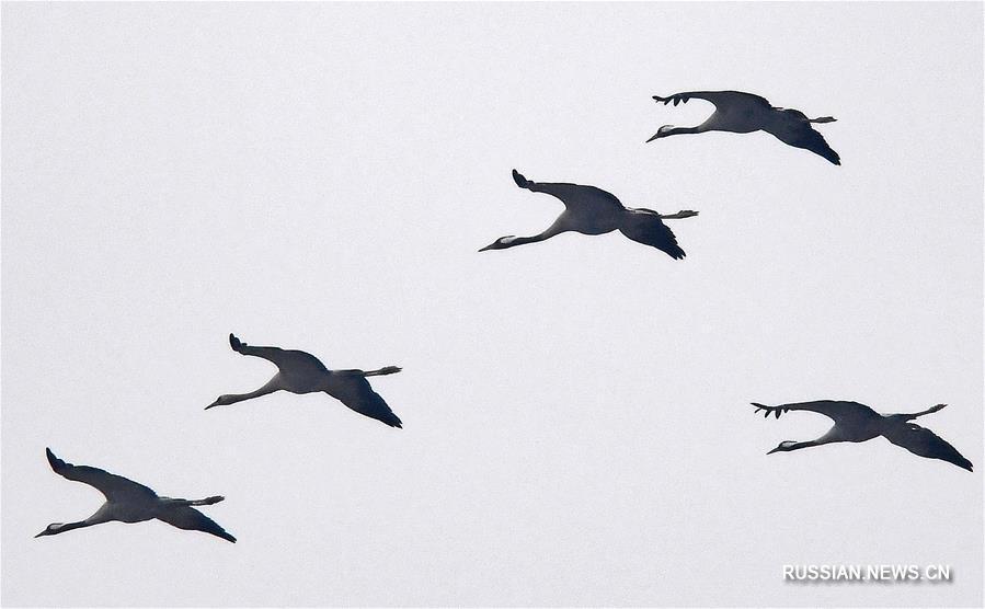 Стаи птиц прилетают зимовать на озеро Поянху