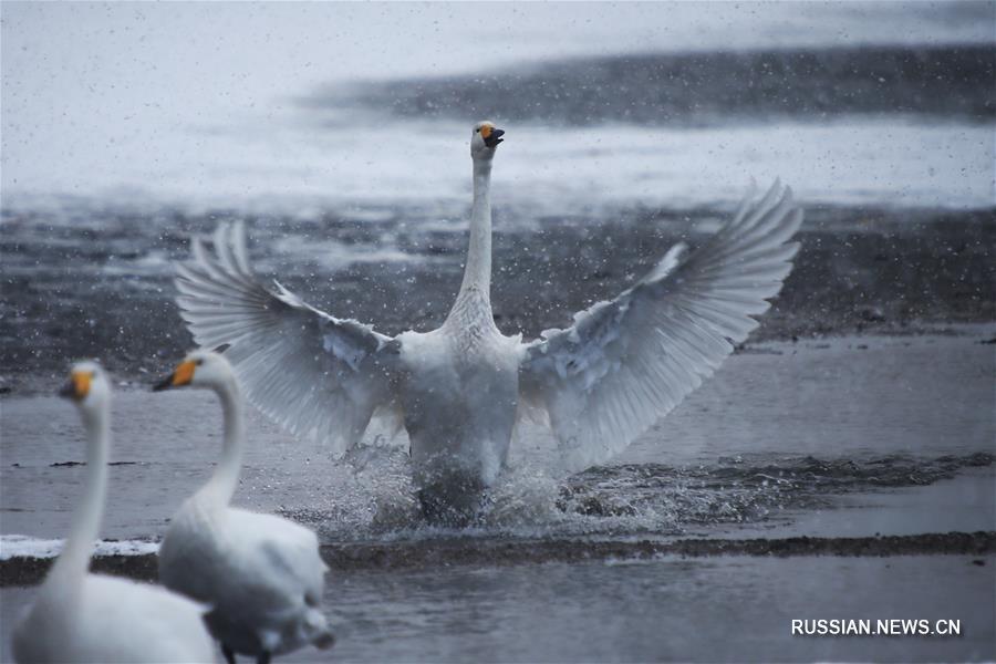 Лебеди и первый снег на озере Инхуаху