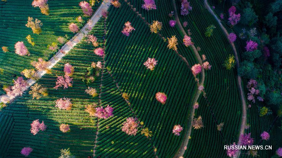 """Зимнее цветение в """"вишневой долине"""" уезда Наньцзянь"""