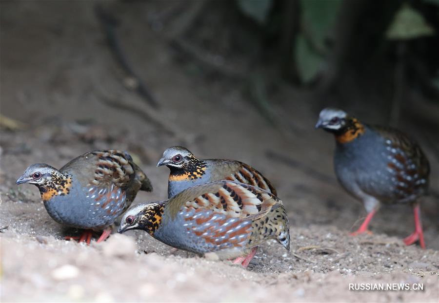 Птицы в заповеднике горной гряды Гаолигун в провинции Юньнань