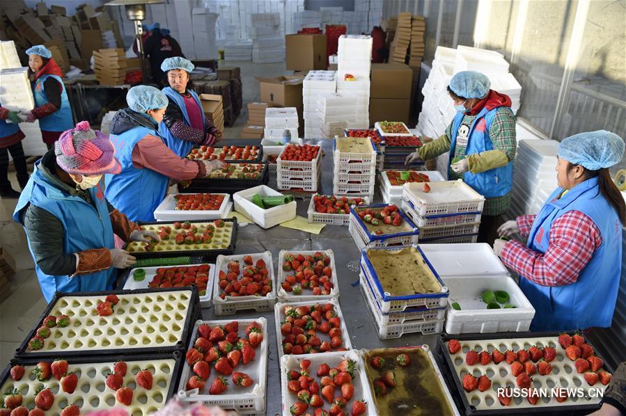 В провинции Ляонин активно развивается выращивание клубники