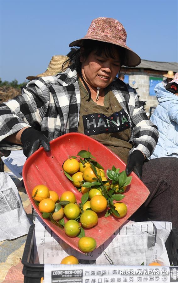 Урожай на цитрусовых фермах в Гуанси-Чжуанском автономном районе