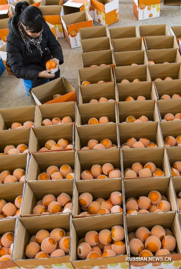 Развитие онлайн-торговли позволило продавать цзыгуйские пупковые апельсины по всему Китаю