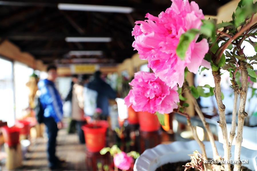 Зимняя выставка пионов в Шэньяне