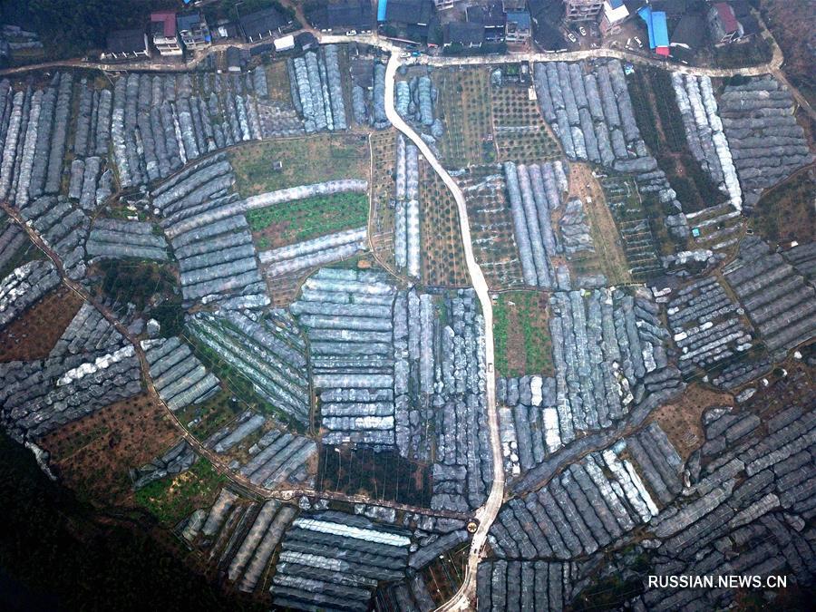 Выращивание кумкватов как средство борьбы с бедностью в уезде Жунъань