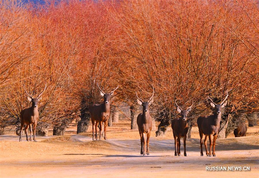 Дикие животные проводят зиму в искусственном лесном заповеднике на берегу Ярлунг-Цангпо