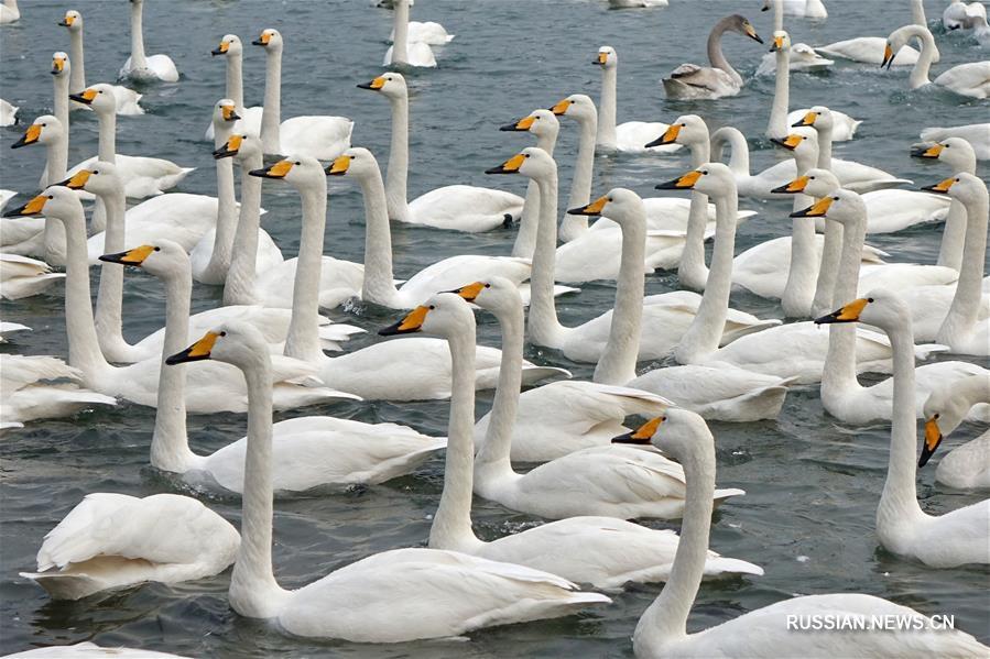 Почти 10 тыс лебедей слетелись на зимовку в уезд Жунчэн
