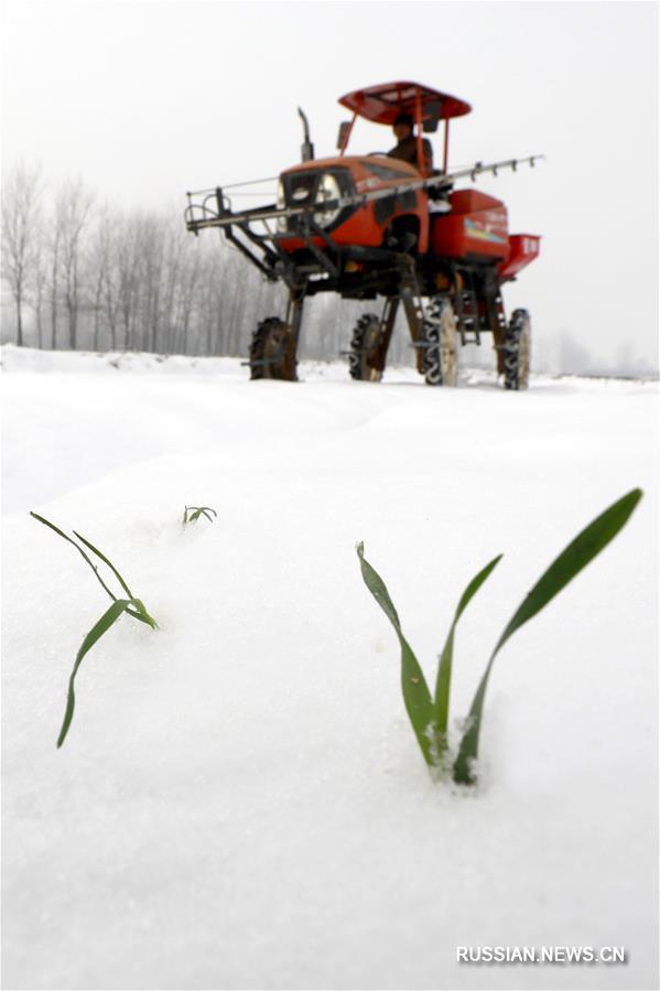 Удобрение посевов пшеницы после снегопада в уезде Сюйи