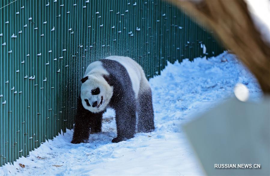 Большие панды играют в снегу на северо-востоке Китая