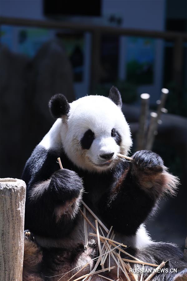 Переданная Малайзии большая панда Цзинцзин родила второго детеныша