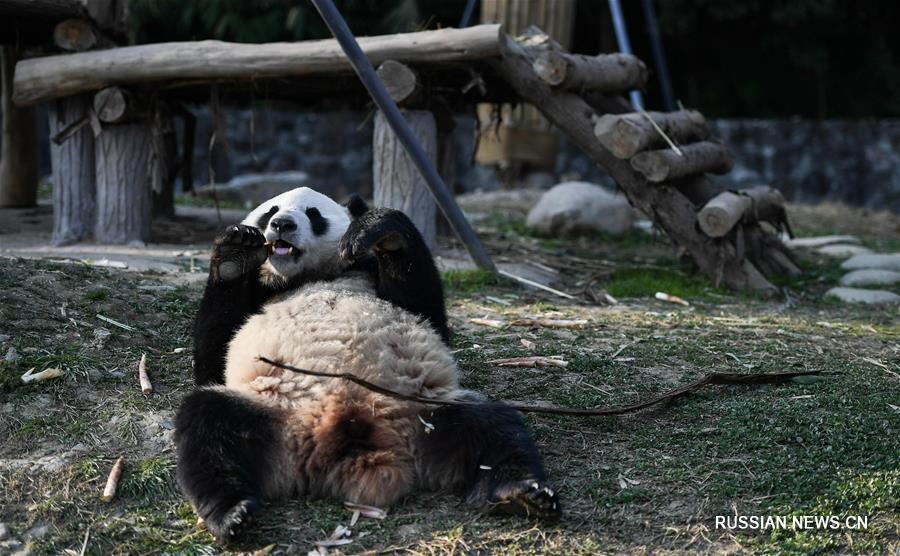 Большие панды Хуабао и Цзиньбаобао отправились в Финляндию