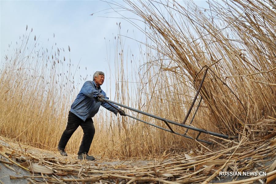 Зимний урожай тростника приносит жителям деревни Лянгоуэр около 3 млн юаней в год