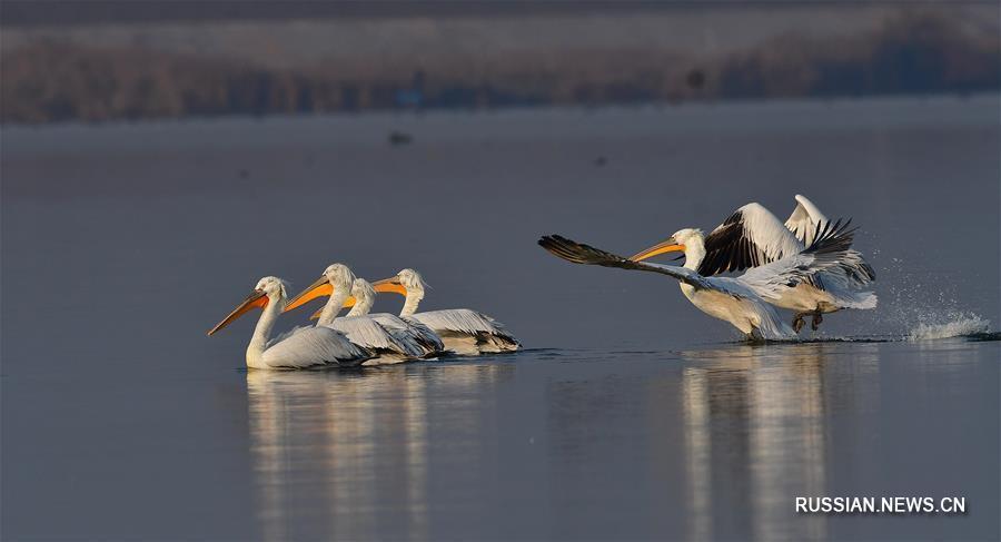 Кудрявые пеликаны прибыли на зимовку в бухту Лоюаньвань