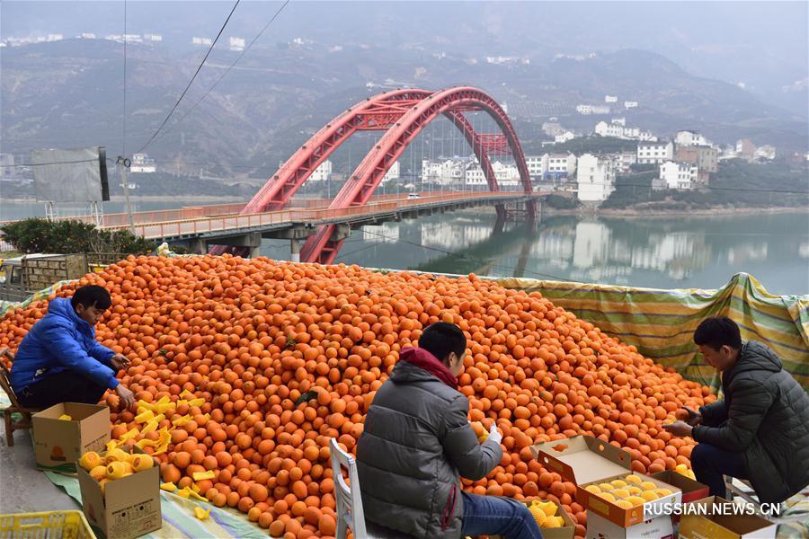 Развитие производства пупочных апельсинов в уезде Цзыгуй