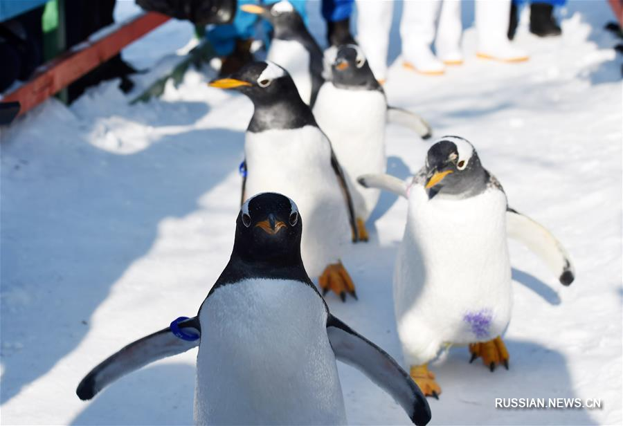 Прогулка пингвинов по морозному Харбину